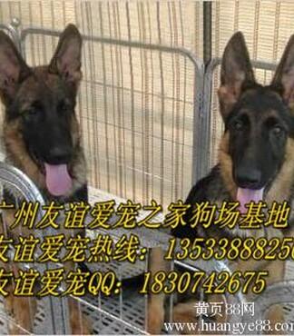 哪里有卖牧羊犬 德国黑背 广州德牧犬价格 -德国黑背图片